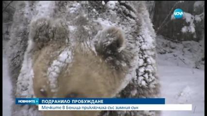 Мечките в Белица приключиха със зимния сън