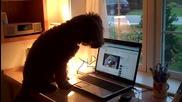 Лабрадор гледа клипчета в интернет