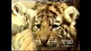 Малки Тигърчета