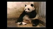 Бебе панда киха много смешно