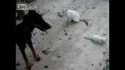 Котка Защитава Малкото Си Коте От Куче