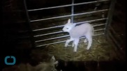 Cute 5-legged Lamb is the Happiest Thing You'll See Today