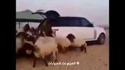 Арабска хранилка за овце