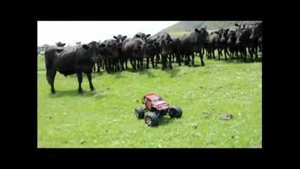 Rc количка срещу крави