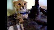 Малко сладко бебе гепардче мяука ...