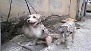 """Кученце играе """"рока на затворниците"""" на Елвис :)"""