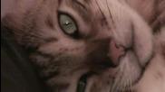 Бенгалска котка в добро настроение