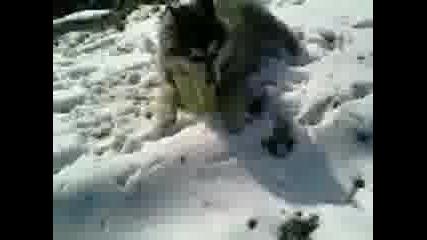 Igra na Haski v snega