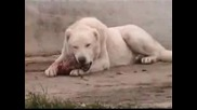 Kurdish Kangal Dog The Strongest The Biggest of the World.flv