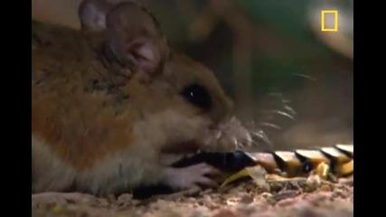 Centipede vs. Grasshopper Mouse