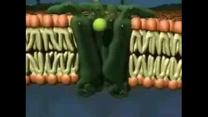 Активен Транспор През Клетъчната Мембрана
