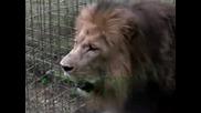 Лъв - Lion Roar - Extreme Close Up!!!