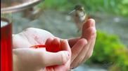 Чудото на природата - Колибрита