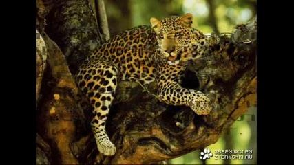 Малко информация за семейство котки - леопарди част 3
