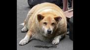 Най - силното,  голямото и дебелото куче