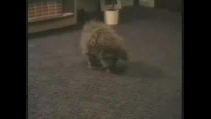 Компактна котка