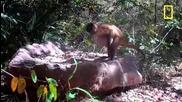 Маймуни трошат ядки с камъни.