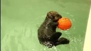 Малко бебе видра си играе с баскетболна топка