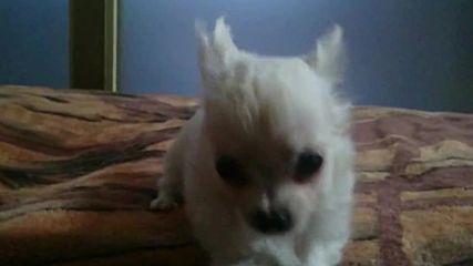 Много сладурско чихуахуа бебе мъжко бяло