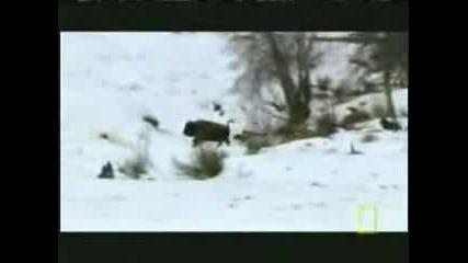 Глутница вълци убиват бизон