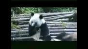 Кихаща панда ! Смях !