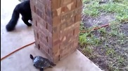 Котка се гаври с костенурка