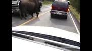 Бизон се разхожда спокойно на пътя!