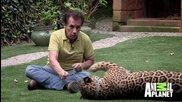 Ягуар като домашен любимец ..