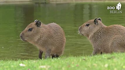 Germany: Berlin zoo welcomes baby capybaras