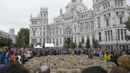 Spain: Un-BAAA-lievable! Thousands of sheep pack-out Madrid's streets in ancient tradition