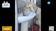 Възпитана овца сама си пуска чешмата (ВИДЕО)