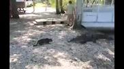 Безстрашна Котка прогонва алигатор