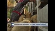 Традиционна миграция на стада овце в Мадрид