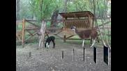Двойката лами в зоопарка в Айтос се сдоби с потомство - ламче на име Мария.