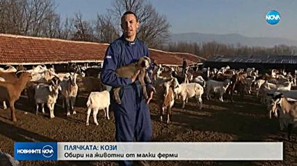 Откраднаха 110 кози от стадо на животновъд