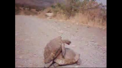 Real Turtle Sex
