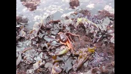 Еволюция!октопод се разхожда по сушата