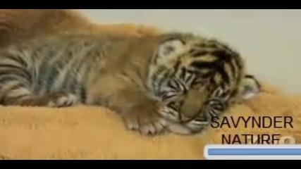 Сладък Новороден Тигър