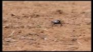 Oogpister Beetle