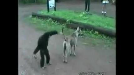 Маймуна се гаври с куче - смях
