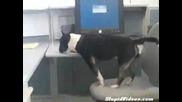 Смях!!! Неопитно Куче В Офиса