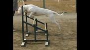 Dogo Argentino (the White Beast)