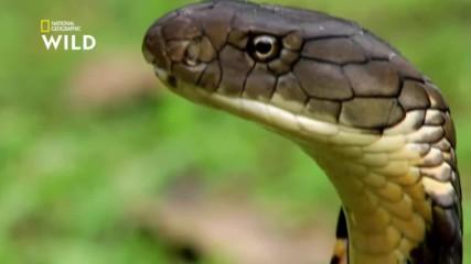 Кралската кобра