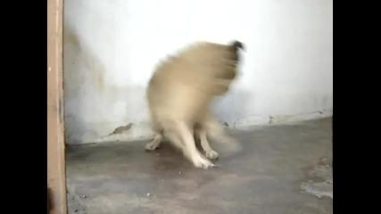 Много узверено куче си гони опашката