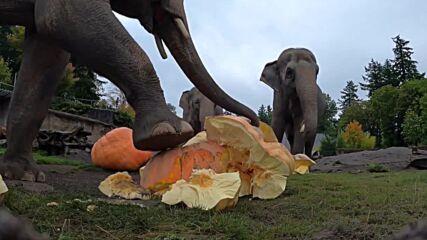 'Do the monster mash' - elephants in Oregon zoo do the pumpkin smash!