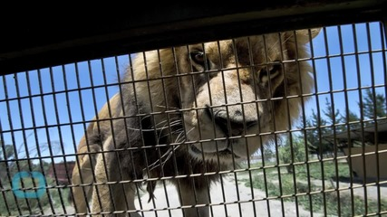 Circus Lion Rescued by Safe Haven Organization