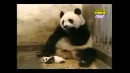 Супер смях! Панда се стряска от малкото си