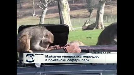 """Маймуни разкостиха """"Мерцедес"""" в сафари парк във Великобритания"""