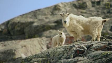 Опасният поход на снежната коза