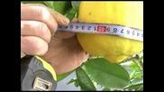 Лимон - Гигант
